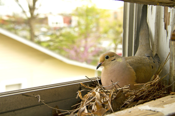 Dove On A Window Sill